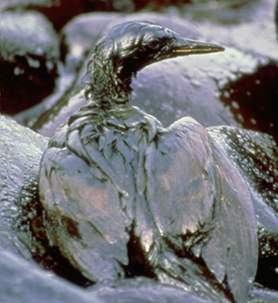Oil_birds